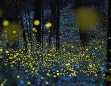 Gold Fireflies Photographs | Japan