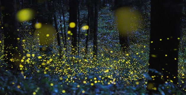 Gold Fireflies Photographs | Japan
