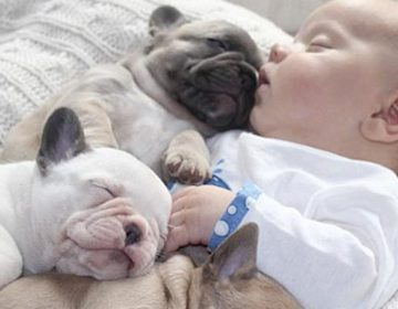 French bulldogs puppies keeping a baby warm