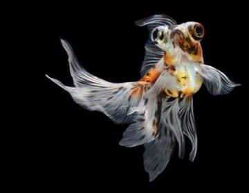 Siamese Fighting Fish | Visarute Angkatavanich