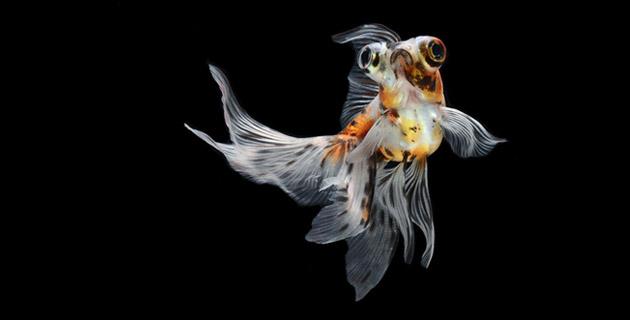 Siamese Fighting Fish   Visarute Angkatavanich