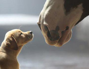 Budweiser | Puppy Love
